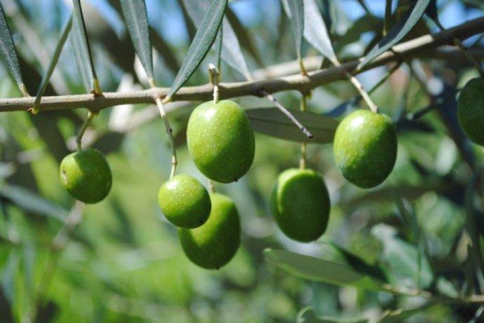 Resultado de imagem para cultivo de oliveiras
