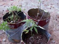 BM descobre plantação de maconha em creche abandonada de Caçapava do Sul