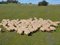 Estão abertas as inscrições para a Feira Nacional de Ovinos de Caçapava do Sul