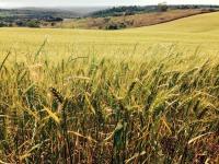 Clima prejudica plantio das lavouras de trigo no Rio Grande do Sul