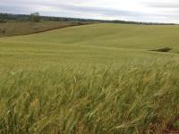 Umidade em excesso não favorece plantio do trigo no RS