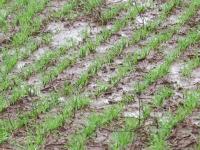 Excesso de chuvas prejudica cultivo de hortaliças no Rio Grande do Sul