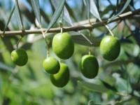 Produção de oliveiras em São Sepé já soma 100 hectares
