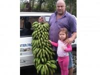 Cacho gigante de banana orgânica chama a atenção em município do Noroeste do Estado