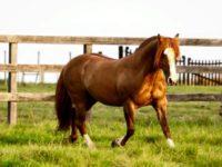 """Morre """"Consuelo do Infinito"""", o cavalo de São Sepé que foi Freio de Ouro"""