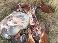 Após anos de pesquisa e seleção genética, cabanha perde animais em abigeato