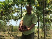Proximidade da Festa da Uva gera expectativa para vitivinicultores de São Sepé